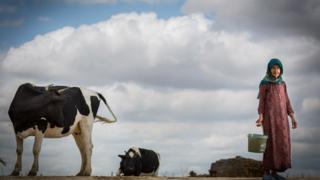 زن روستایی و گاو