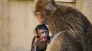 小獼猴張嘴大喊