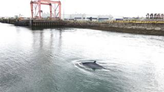 Minke whale in Belfast harbour