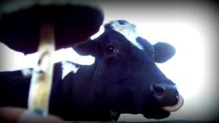 Vaca y hongo