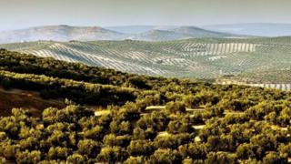 Castellon'da zeytin ağaçları