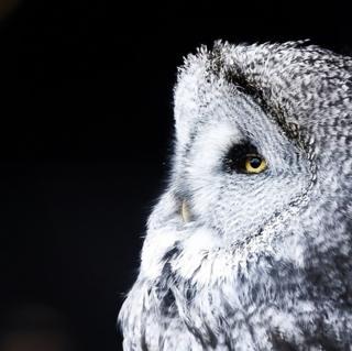 Great grey owl at Highland Wildlife Park