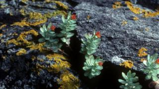 सोलो पौधा