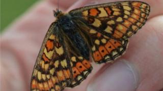 The Marsh Fritillary