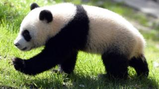 Giant panda takes step forward
