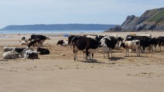 Cows enjoy a day at the beach down at Three Cliffs Bay on Gower