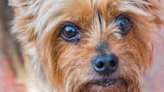 Cachorro pequeno olha para a câmera