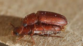 Escarabajos rojos de la harina copulando