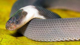 งูหัวสีสายรุ้งเหลือบเงิน หรือชื่อทางวิทยาศาสตร์ คือ Parafimbrios
