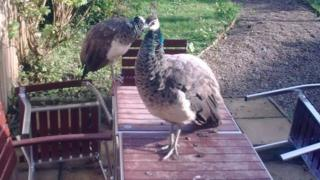 Two of the birds which Ushaw Moor residents say are causing a nuisance