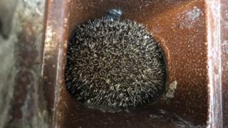 Hedgehog in a sewage pipe