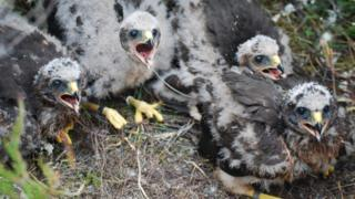 Harriers in nest
