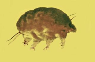 """""""หมูรา"""" (mold pig) สัตว์ไม่มีกระดูกสันหลังขนาดจิ๋วที่เพิ่งมีการค้นพบใหม่"""