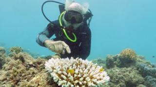 A reef researcher inspects some bleached coral