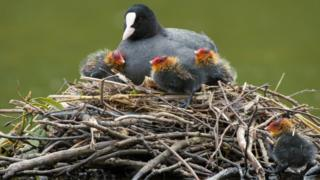 Coots on the nest