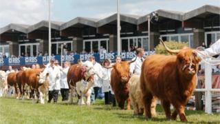 Cows are paraded at the Royal Highland Show
