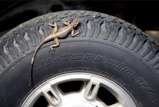 A lizard sun bathes on a jeep's tire in Kinshasa, Democratic Republic of Congo, January 13, 2019.