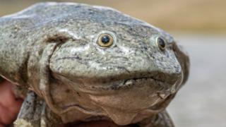 science Close-up of a Lake Titicaca giant frog courtesy of Bolivia's Natural History Museum