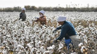 Farmers pick cotton during the harvest on October 21, 2019 in Shaya County, Xinjiang Uygur Autonomous Region of China.