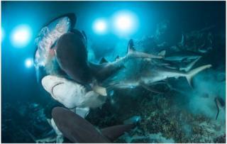 Shark feeding frenzy wins underwater photo award