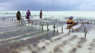 Women farming seaweed