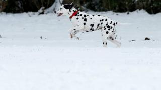 Spot the dog: A Dalmatian runs through the snow in Milton Keynes.