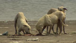 Stray dogs looking for food on abandoned island off Karachi