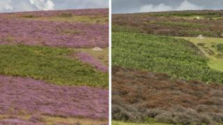 The normally purple heather blooms (left) and the more recent brown plants (right)