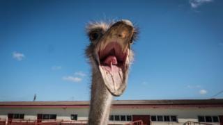 El avestruz es originario de África.