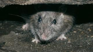 Rat (Rattus norvegicus) hiding under broken pot