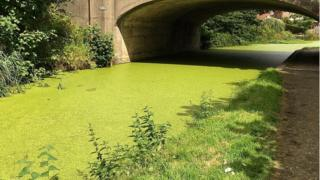 Duck weed covering canal