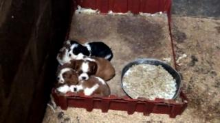 Kittens Puppies huddled together at a Carmarthenshire puppy farm filmed by a BBC undercover reporter