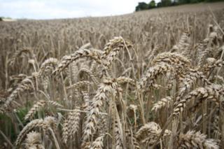 weather Wheat field