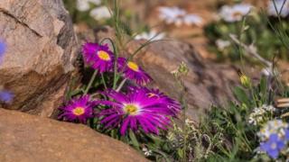 தென்னாப்பிரிக்க பாலைவன மலர்களின் கண்கொள்ளாக் காட்சி