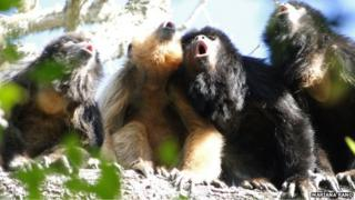 black and gold howler monkeys roaring. This species commonly has several adult males (black fur) and adult females (golden fur) in a group.
