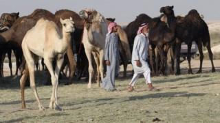 Qatar, unta