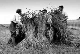 Bank of England staff harvesting near Whitchurch, Hampshire, during WW2 evacuation