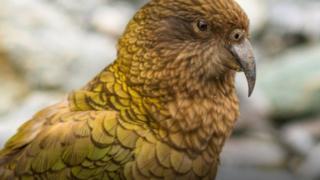 أحد طيور نيوزيلندا