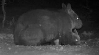 A northern hairy-nosed wombat and the new joey