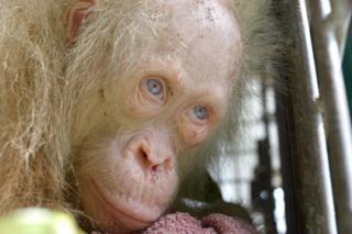 Nyani mkubwa albino asiye wa kawaida anatunzwa na kundi moja la kuwalinda wanyama nchini Indonesia baada ya kuokolewa.
