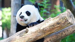 Вашингтонский детеныш панды Бэй-Бэй
