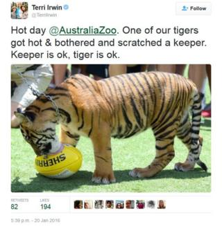 """Tweet by Terri Irwin saying: """"Hot day @AustraliaZoo. One of our tigers got hot and bothered and scratched a keeper. Keeper is ok, tiger is ok."""""""