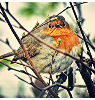 "Alan Deeney took this picture of a ""grump robin"" at Wemyss Bay"