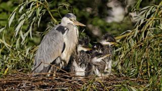Heron and chicks