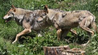 Wolves in Les Angles, south-western France. File photo