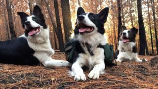 As cadelas Das, Summer e Olivia, em um bosque no Chile