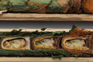 Leafcutter bee offspring in nests