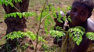 Comment consommer du Moringa peut nous aider à rester en bonne santé et à sauver la planète.