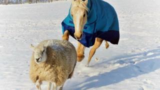 The horse, Faith, and pet sheep, Shaun