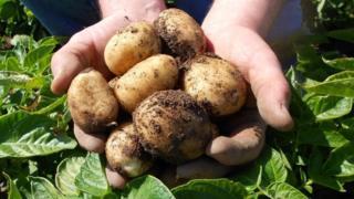 Ayrshire early new potatoes